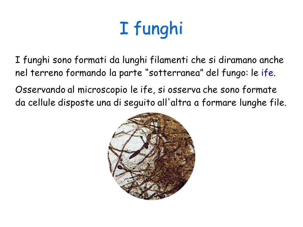 I funghi I funghi sono formati da lunghi filamenti che si diramano anche nel terreno formando la parte sotterranea del fungo: le ife.
