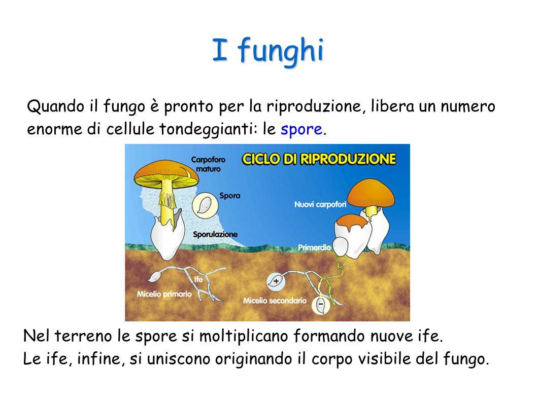 I funghi Quando il fungo è pronto per la riproduzione, libera un numero enorme di cellule tondeggianti: le spore.