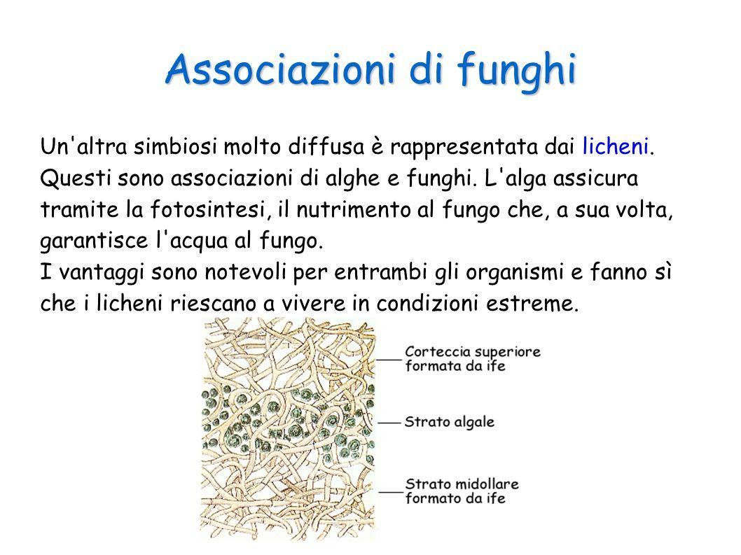 Associazioni di funghi