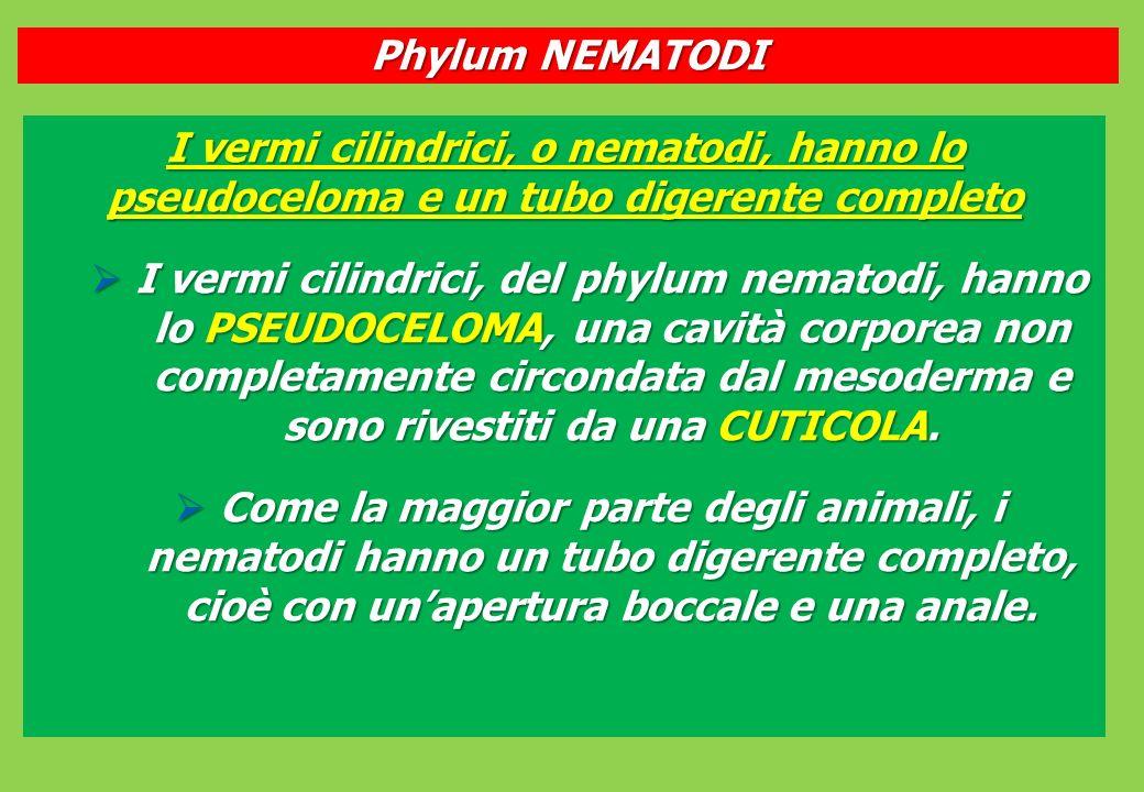 Phylum NEMATODI I vermi cilindrici, o nematodi, hanno lo pseudoceloma e un tubo digerente completo.