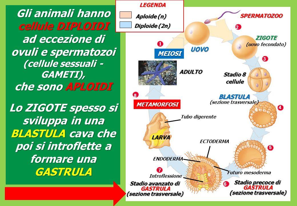 BLASTULA (sezione trasversale) GASTRULA (sezione trasversale)