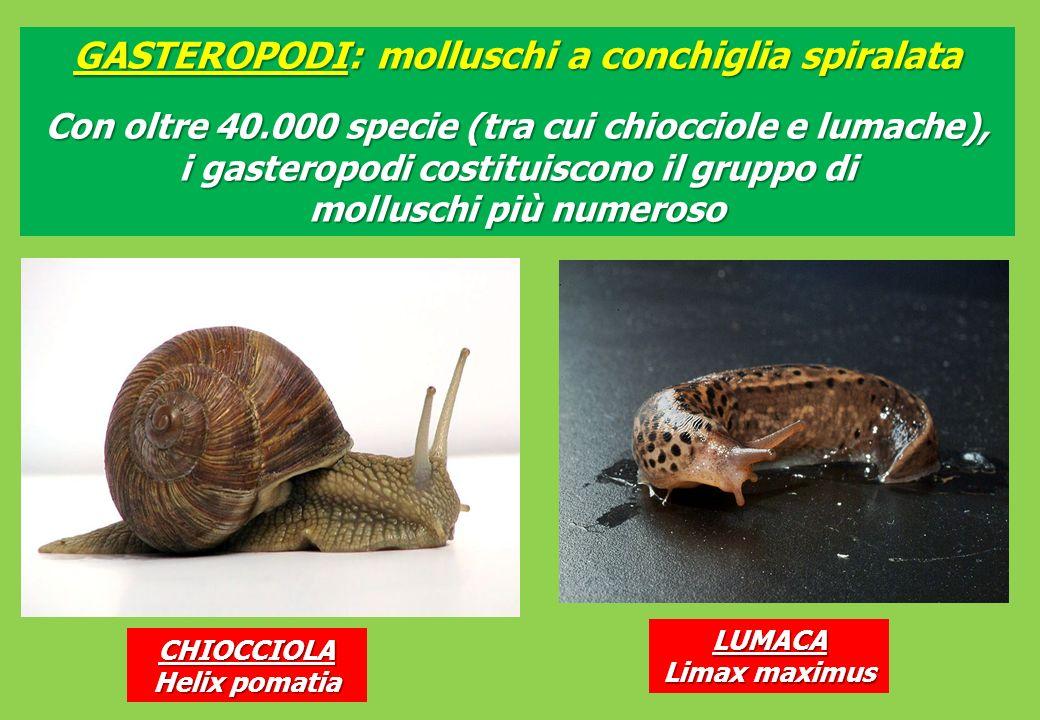 GASTEROPODI: molluschi a conchiglia spiralata CHIOCCIOLA Helix pomatia