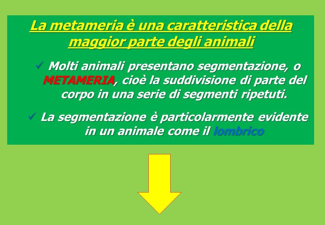 La metameria è una caratteristica della maggior parte degli animali