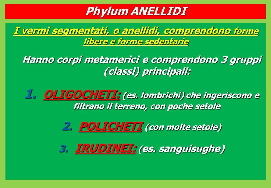 Phylum ANELLIDI I vermi segmentati, o anellidi, comprendono forme libere e forme sedentarie.