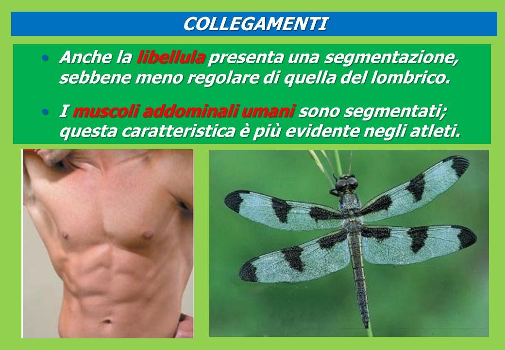 COLLEGAMENTI Anche la libellula presenta una segmentazione, sebbene meno regolare di quella del lombrico.
