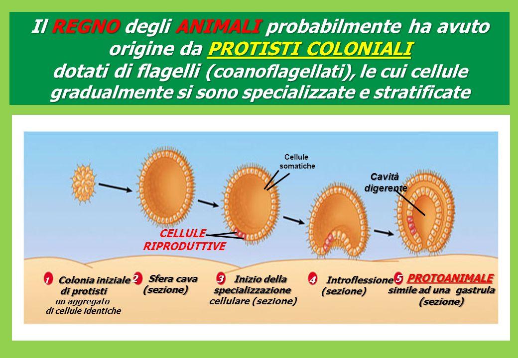 Il REGNO degli ANIMALI probabilmente ha avuto origine da PROTISTI COLONIALI dotati di flagelli (coanoflagellati), le cui cellule gradualmente si sono specializzate e stratificate
