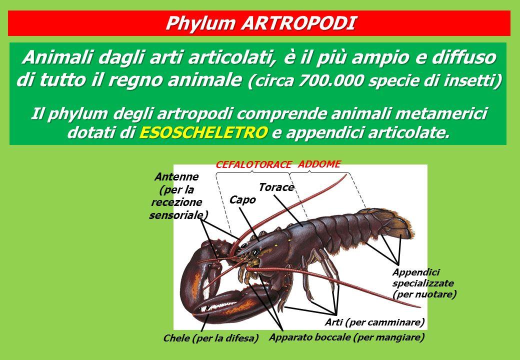 Phylum ARTROPODI Animali dagli arti articolati, è il più ampio e diffuso di tutto il regno animale (circa 700.000 specie di insetti)