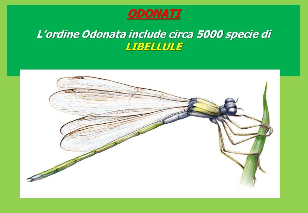 L'ordine Odonata include circa 5000 specie di LIBELLULE