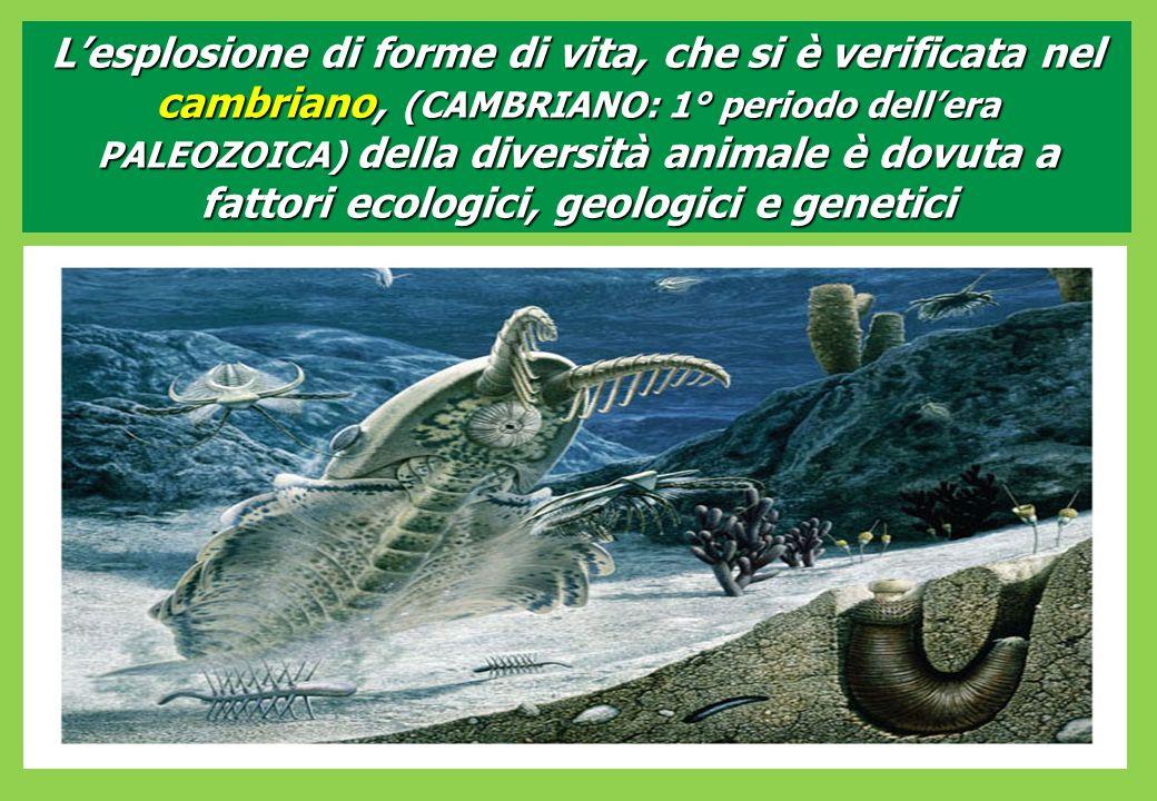 L'esplosione di forme di vita, che si è verificata nel cambriano, (CAMBRIANO: 1° periodo dell'era PALEOZOICA) della diversità animale è dovuta a fattori ecologici, geologici e genetici