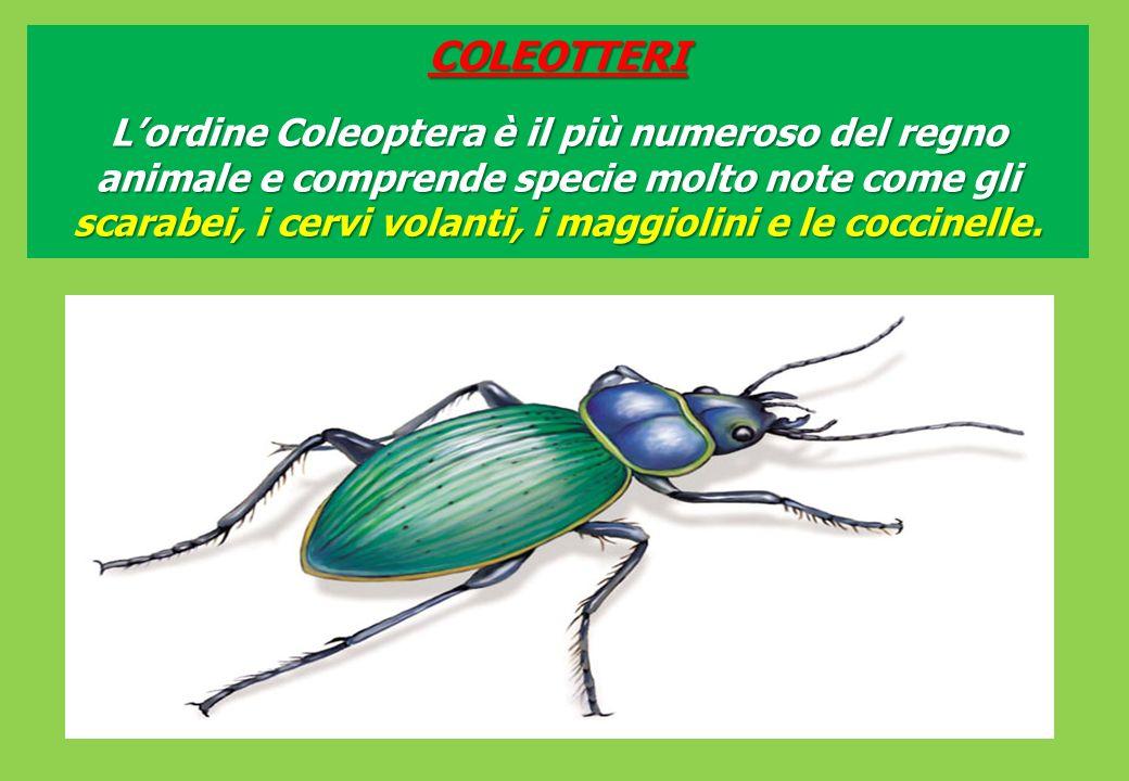 COLEOTTERI