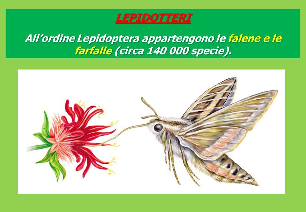 LEPIDOTTERI All'ordine Lepidoptera appartengono le falene e le farfalle (circa 140 000 specie).