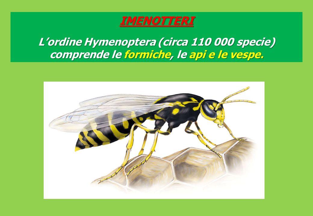 IMENOTTERI L'ordine Hymenoptera (circa 110 000 specie) comprende le formiche, le api e le vespe.