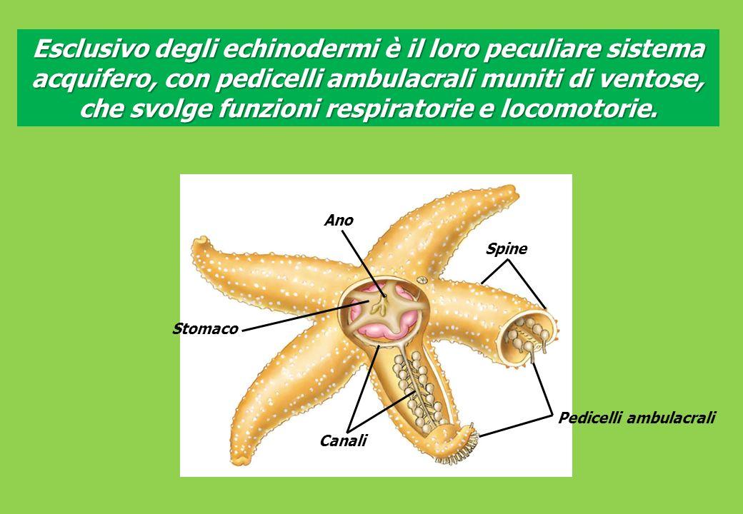 Esclusivo degli echinodermi è il loro peculiare sistema acquifero, con pedicelli ambulacrali muniti di ventose, che svolge funzioni respiratorie e locomotorie.