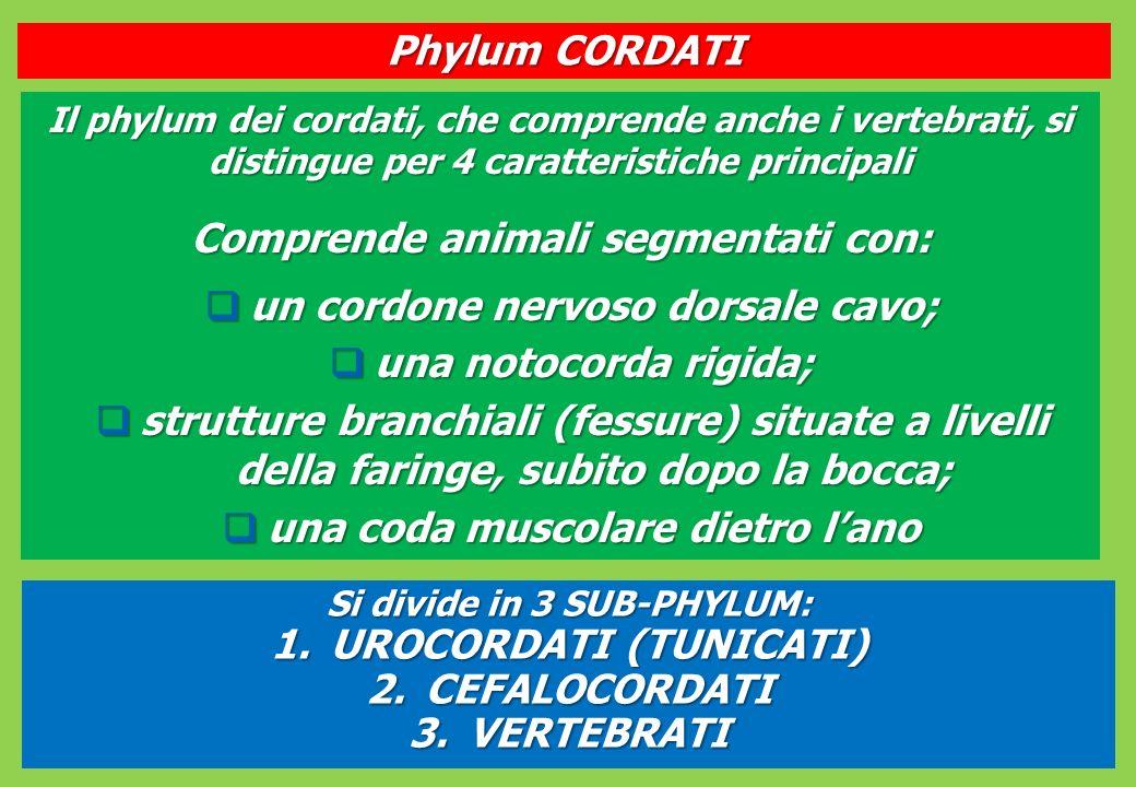 Comprende animali segmentati con: un cordone nervoso dorsale cavo;