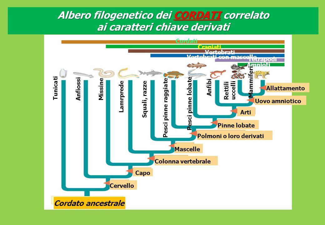 Albero filogenetico dei CORDATI correlato ai caratteri chiave derivati