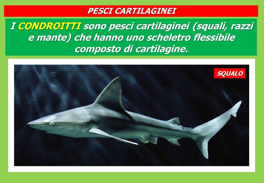 PESCI CARTILAGINEI I CONDROITTI sono pesci cartilaginei (squali, razzi e mante) che hanno uno scheletro flessibile composto di cartilagine.