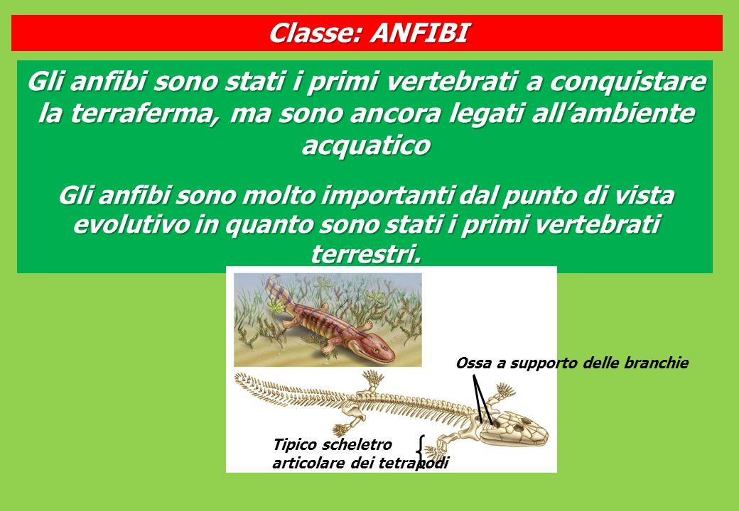 Classe: ANFIBI Gli anfibi sono stati i primi vertebrati a conquistare la terraferma, ma sono ancora legati all'ambiente acquatico.