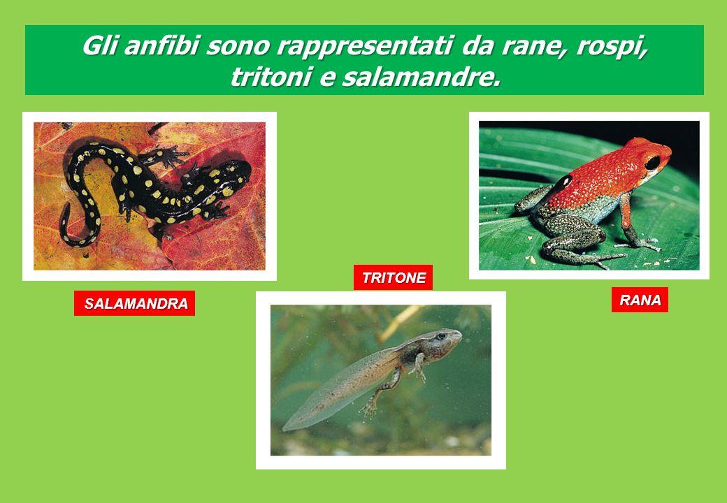 Gli anfibi sono rappresentati da rane, rospi, tritoni e salamandre.