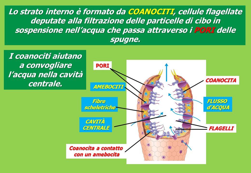 I coanociti aiutano a convogliare l'acqua nella cavità centrale.
