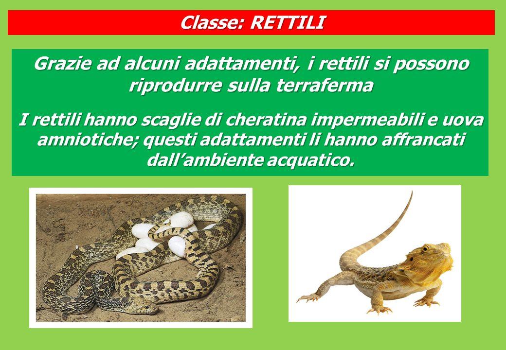 Classe: RETTILI Grazie ad alcuni adattamenti, i rettili si possono riprodurre sulla terraferma.