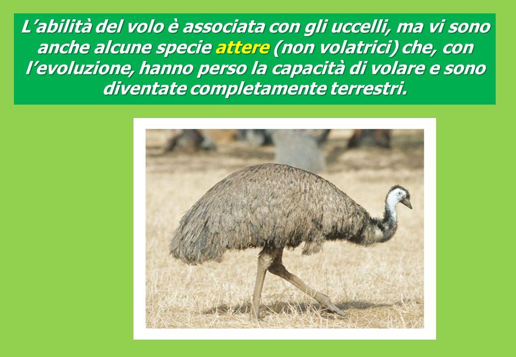 L'abilità del volo è associata con gli uccelli, ma vi sono anche alcune specie attere (non volatrici) che, con l'evoluzione, hanno perso la capacità di volare e sono diventate completamente terrestri.