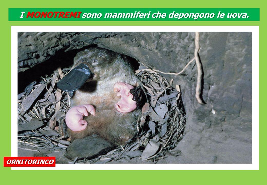I MONOTREMI sono mammiferi che depongono le uova.