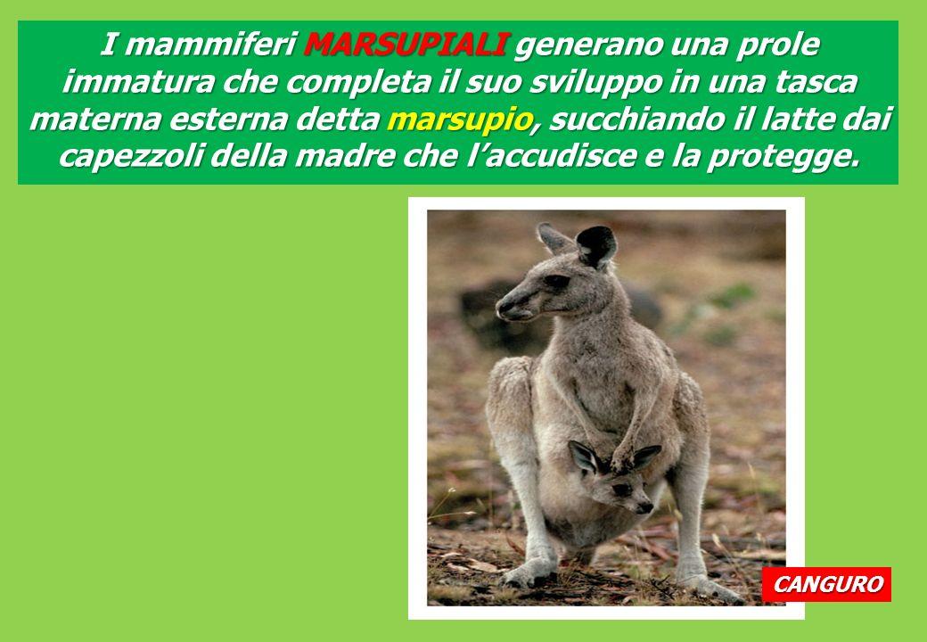 I mammiferi MARSUPIALI generano una prole immatura che completa il suo sviluppo in una tasca materna esterna detta marsupio, succhiando il latte dai capezzoli della madre che l'accudisce e la protegge.