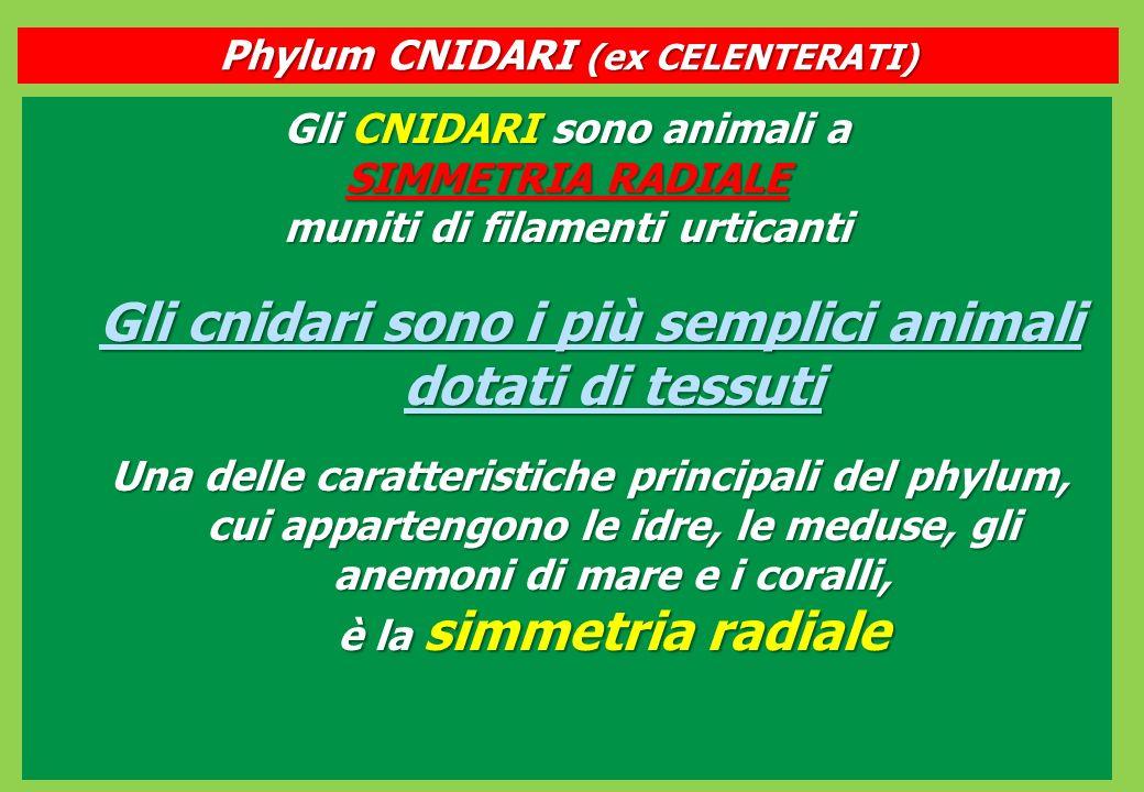 Gli cnidari sono i più semplici animali dotati di tessuti