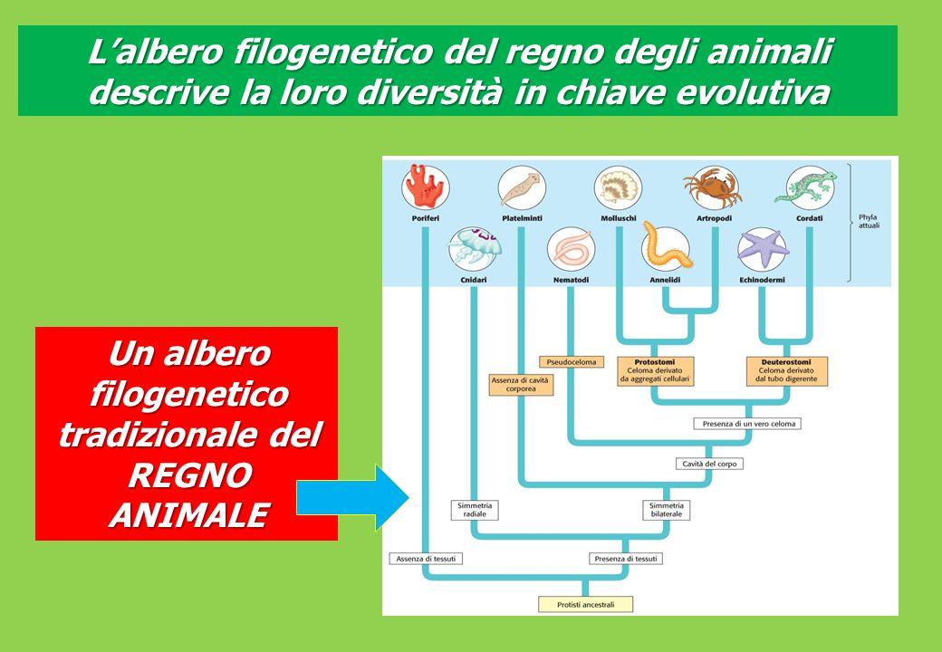 Un albero filogenetico tradizionale del REGNO ANIMALE