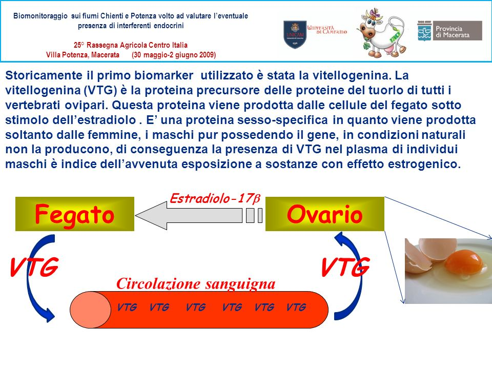 Fegato Ovario VTG VTG Circolazione sanguigna