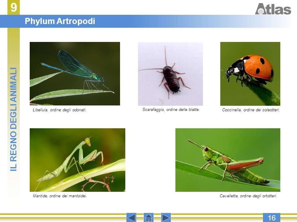 9 Phylum Artropodi IL REGNO DEGLI ANIMALI 16