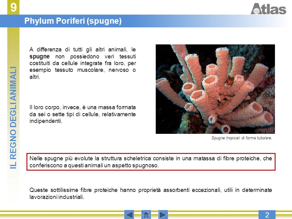 9 Phylum Poriferi (spugne) IL REGNO DEGLI ANIMALI 2
