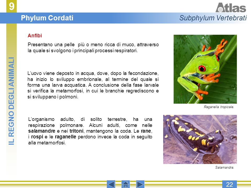 9 Phylum Cordati Subphylum Vertebrati IL REGNO DEGLI ANIMALI 22 Anfibi