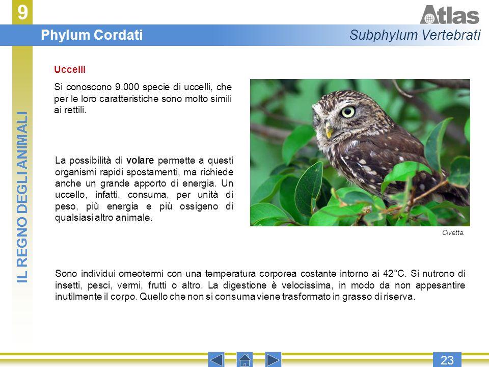 9 Phylum Cordati Subphylum Vertebrati IL REGNO DEGLI ANIMALI 23