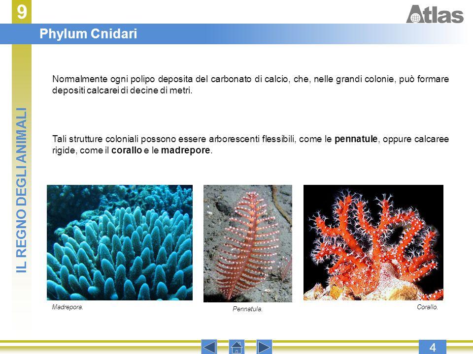 9 Phylum Cnidari IL REGNO DEGLI ANIMALI 4