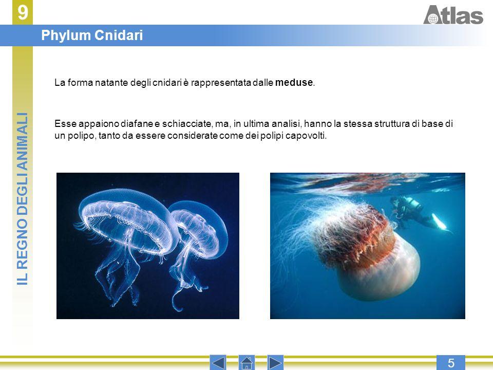 9 Phylum Cnidari IL REGNO DEGLI ANIMALI 5