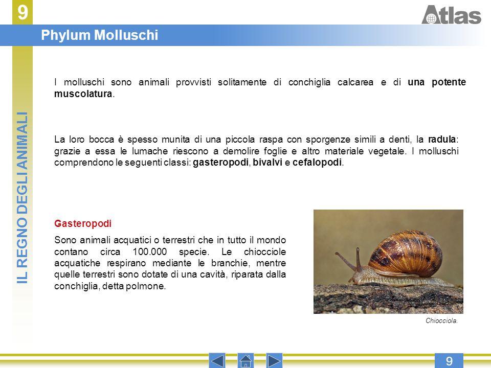 9 Phylum Molluschi IL REGNO DEGLI ANIMALI 9
