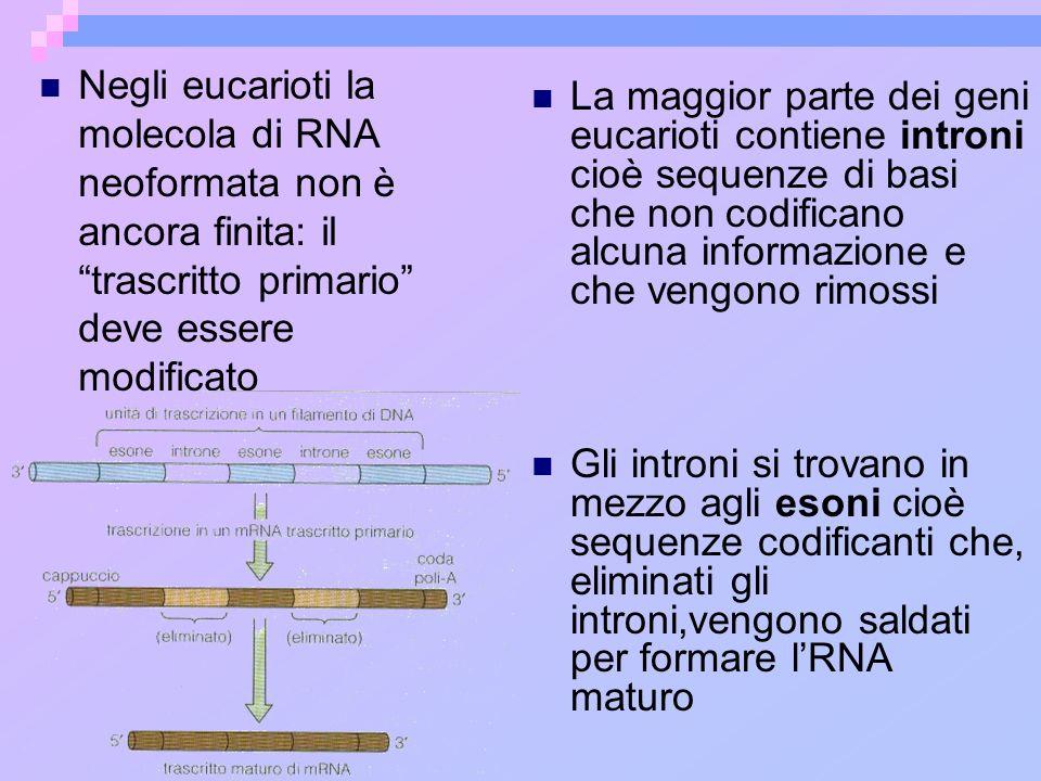 La maggior parte dei geni eucarioti contiene introni cioè sequenze di basi che non codificano alcuna informazione e che vengono rimossi