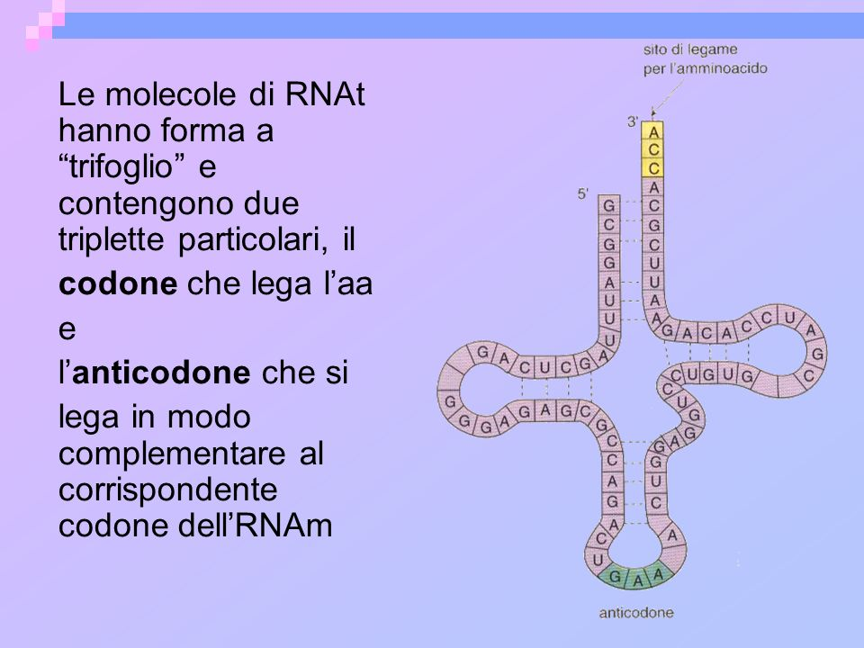 Le molecole di RNAt hanno forma a trifoglio e contengono due triplette particolari, il