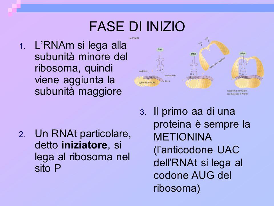 FASE DI INIZIO L'RNAm si lega alla subunità minore del ribosoma, quindi viene aggiunta la subunità maggiore.