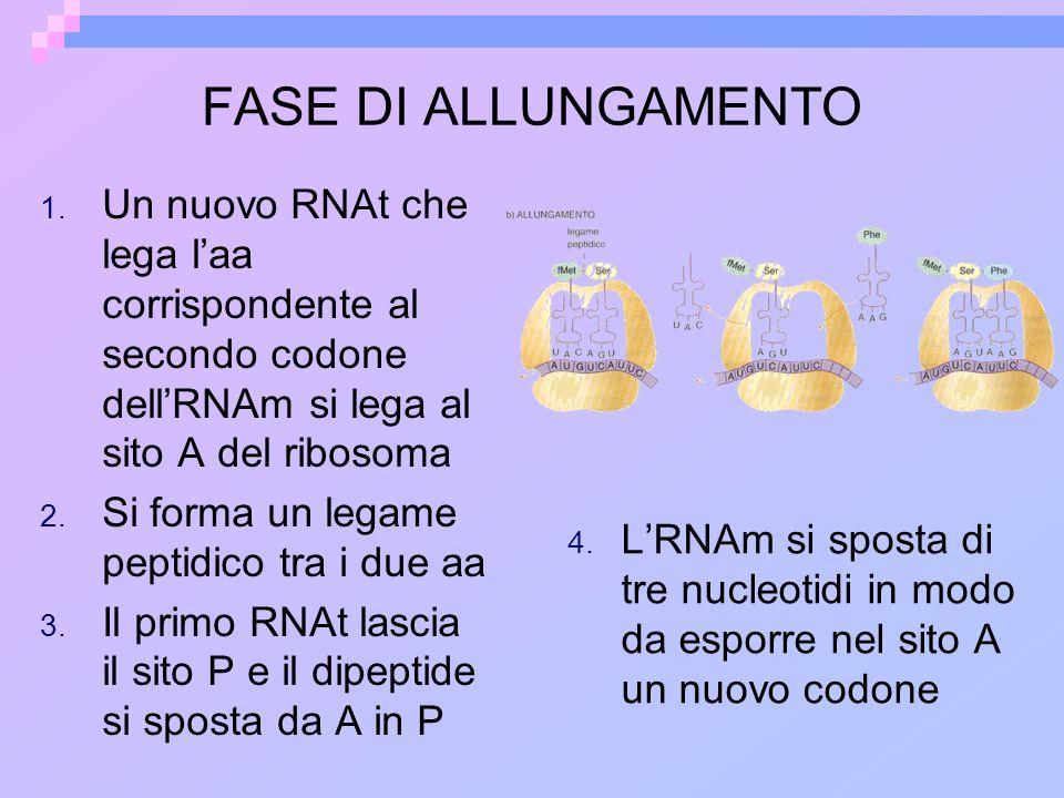 FASE DI ALLUNGAMENTO Un nuovo RNAt che lega l'aa corrispondente al secondo codone dell'RNAm si lega al sito A del ribosoma.