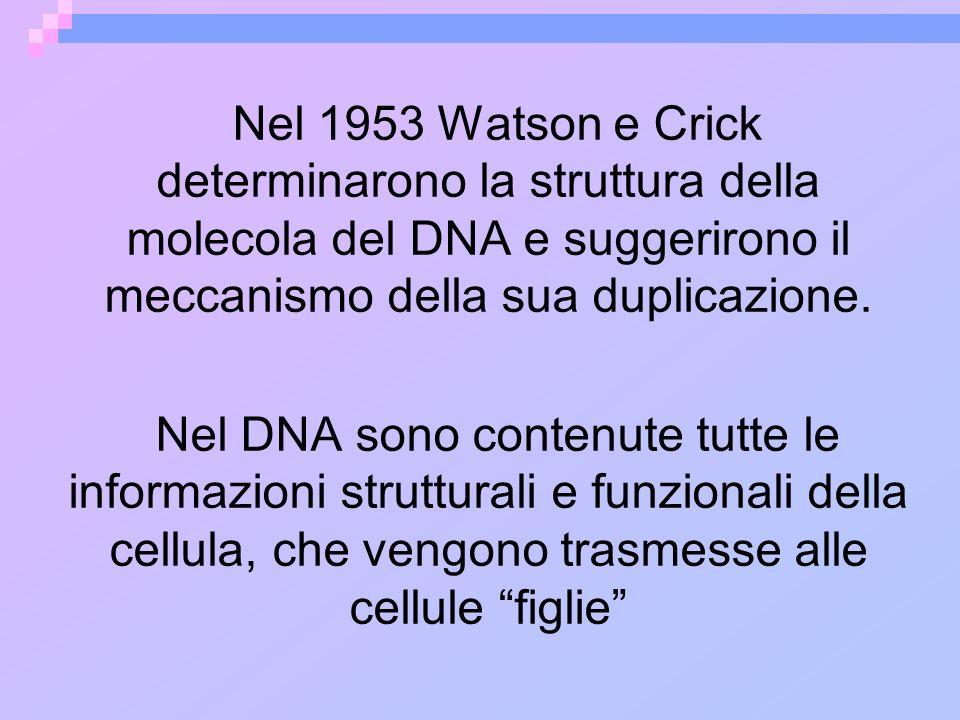 Nel 1953 Watson e Crick determinarono la struttura della molecola del DNA e suggerirono il meccanismo della sua duplicazione.