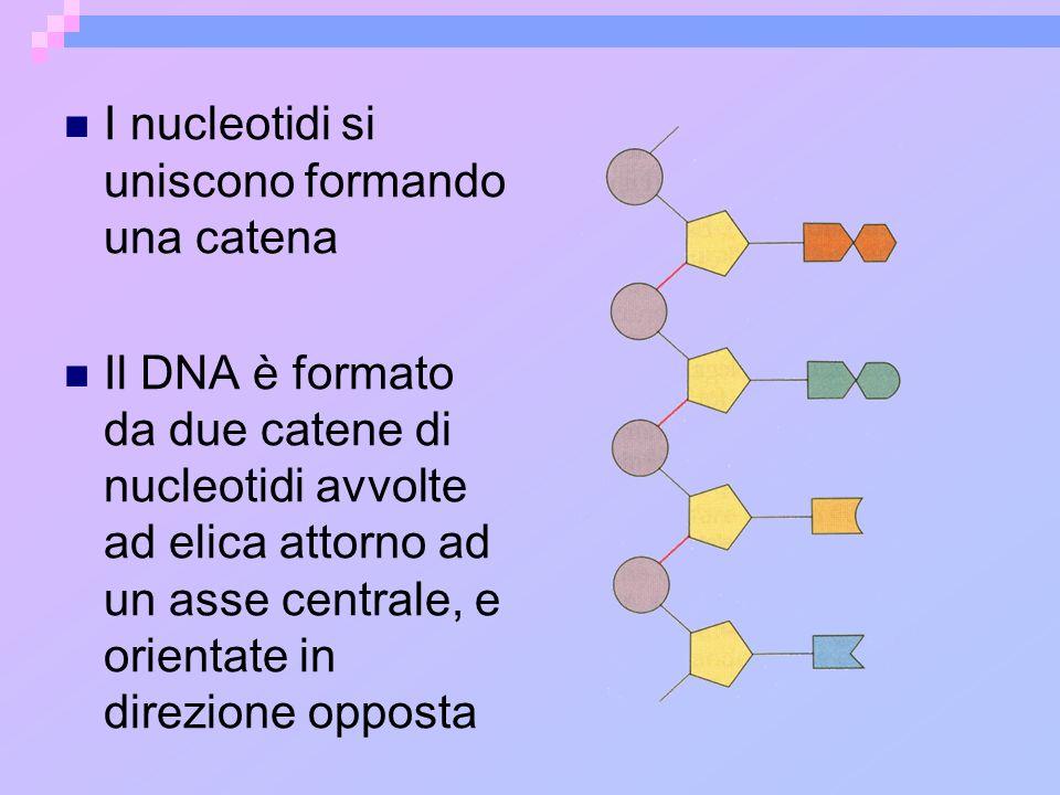 I nucleotidi si uniscono formando una catena