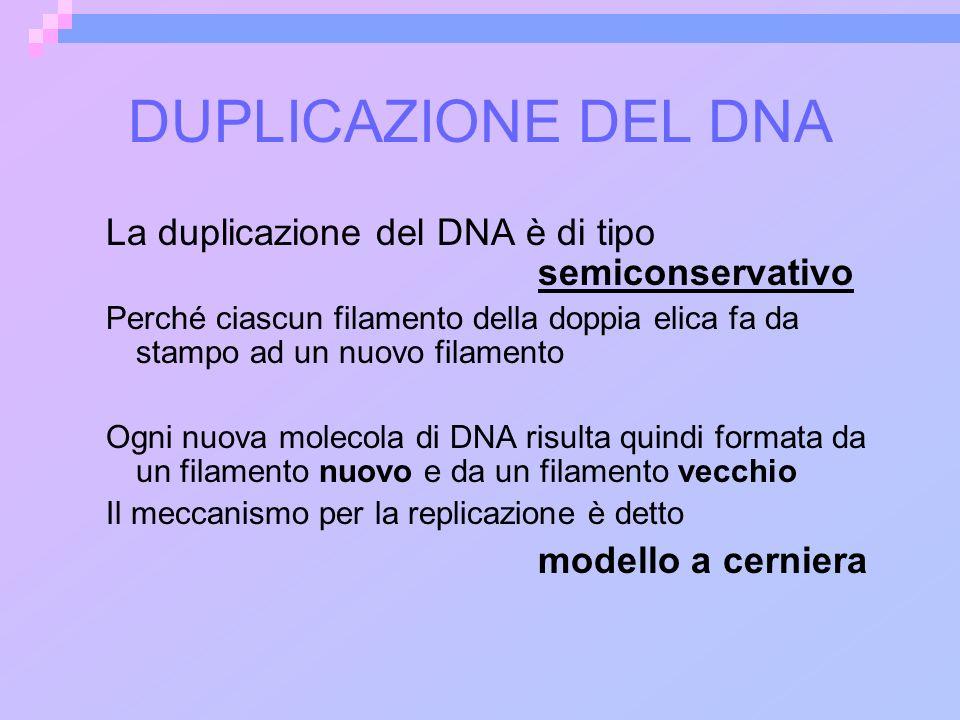 DUPLICAZIONE DEL DNA La duplicazione del DNA è di tipo semiconservativo.