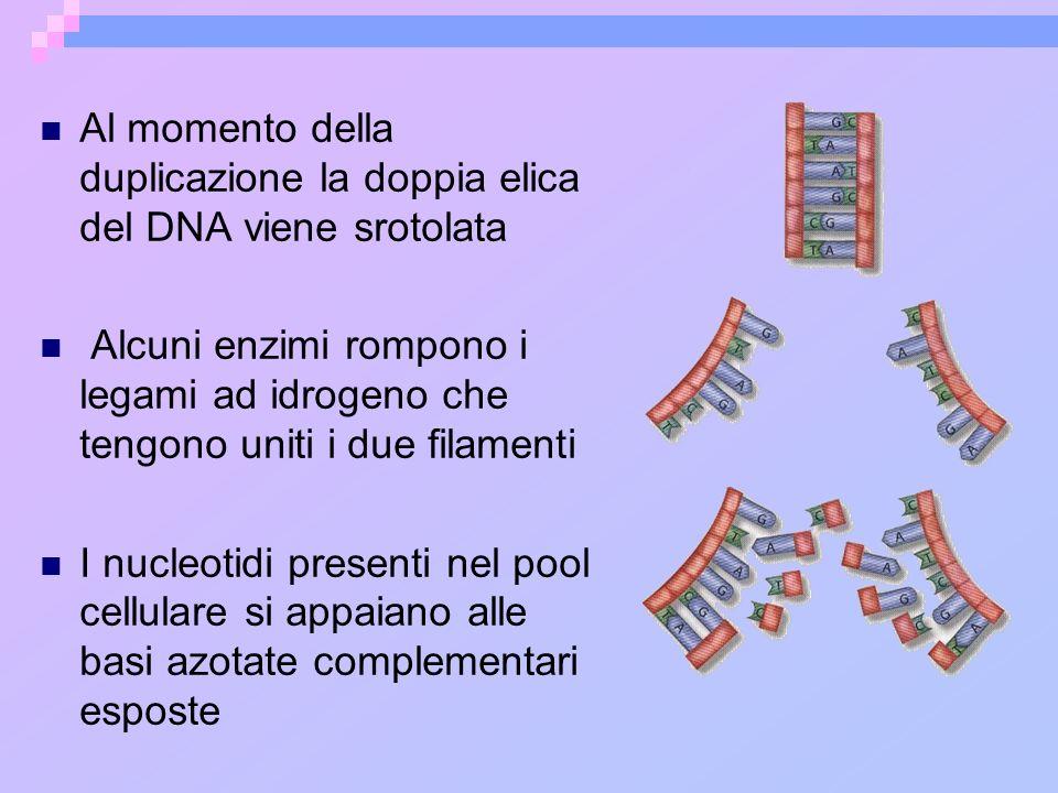 Al momento della duplicazione la doppia elica del DNA viene srotolata