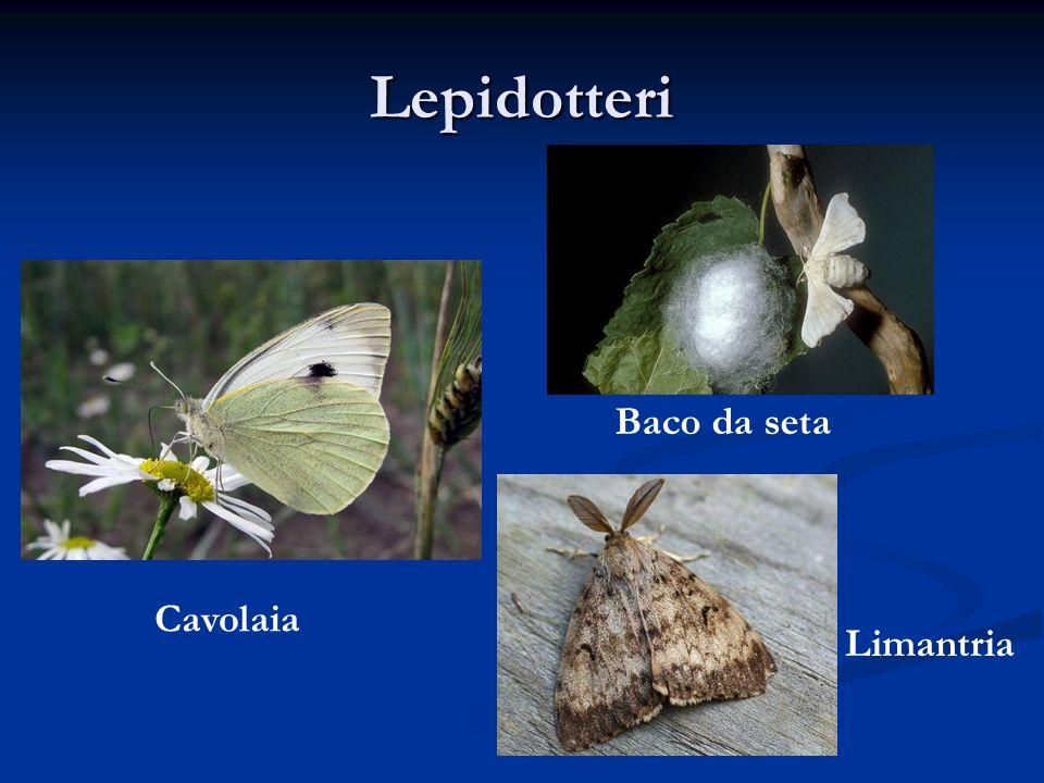 Lepidotteri Baco da seta Cavolaia Limantria