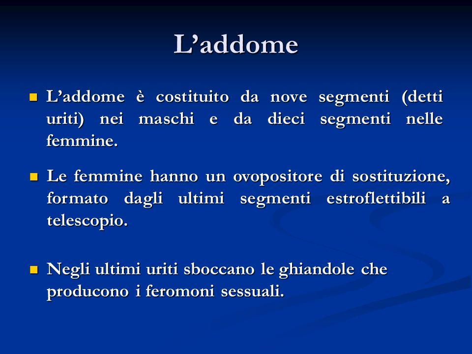 L'addome L'addome è costituito da nove segmenti (detti uriti) nei maschi e da dieci segmenti nelle femmine.