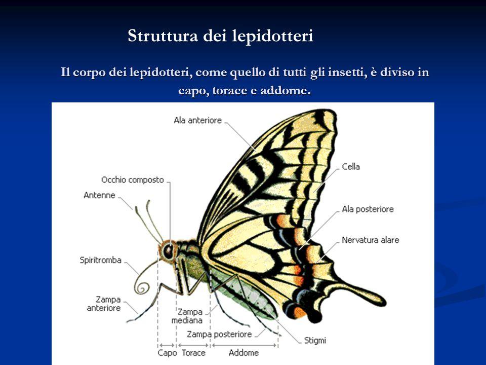 Struttura dei lepidotteri