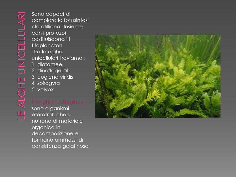 Le alghe unicellulari Sono capaci di compiere la fotosintesi clorofilliana. Insieme con i protozoi costituiscono i l fitoplancton.