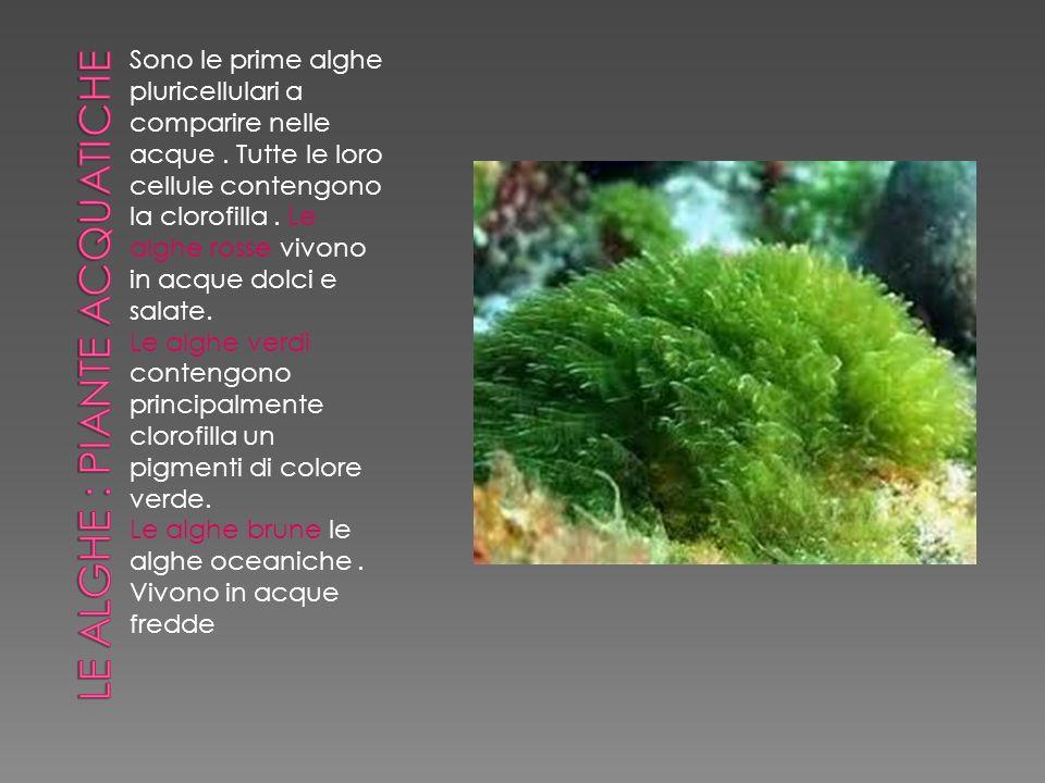 Le alghe : piante acquatiche